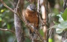 cuckoo shrike at black river gorges national park mauritius