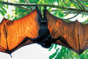 flying fox at black river gorges national park mauritius