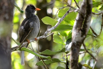 mauritius bulbul at black river gorges national park