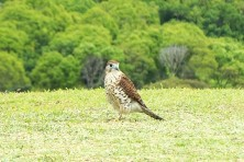 mauritius kestrel at black river gorges national park