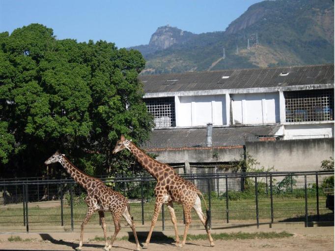 giraffe in rio's zoo brazil