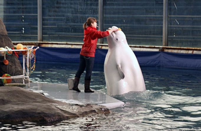 white whale training at moscow zoo