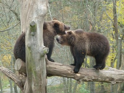 brown bear in skansen open air museum