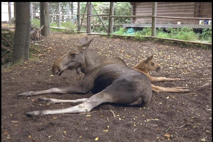 moose in skansen open air museum